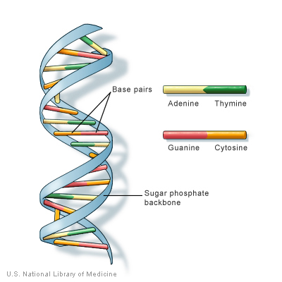 DNA structure from NIH